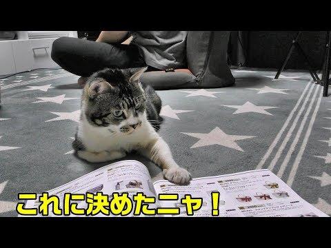 カタログショッピングを楽しむ猫リキちゃん・気になるものに猫パンチ・香箱座りする猫【リキちゃんねる 猫動画】Cat video キジトラ猫との暮らし