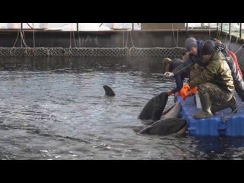 Rusia acabará con la mayor cárcel de cetáceos del mundo