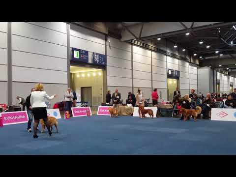 NSDTR Intermediate males class - World Dog Show Leipzig 09.11.2017