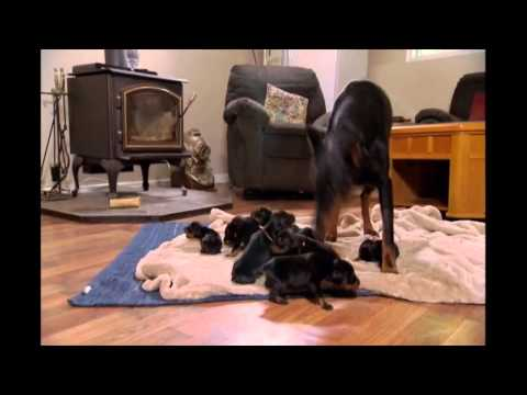 NY Dobermans - birth to new homes