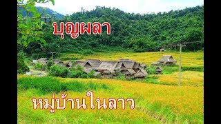 ย่อนบุญผลา หมู่บ้านในลาวท่ามกลางธรรมชาติ ทุ่งนาสีเหลืองทอง
