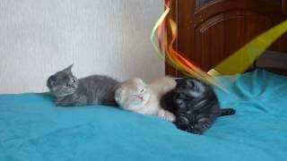Продажа шотландских котят. Три богатыря на отдыхе.