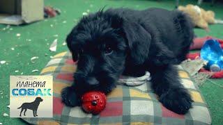 Ризеншнауцер. Планета собак 🌏 Моя Планета