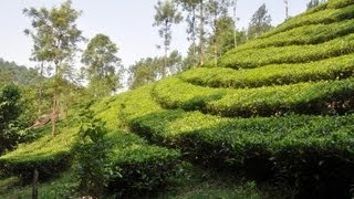 Where tea comes from: Tea plantations in India