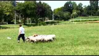 Netherlands Border Collie Training As A Sheep Dog Bordercollie Training Als Schaapshond