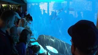 Corky 2 the Orca (Shamu) SeaWorld San Diego July 2011