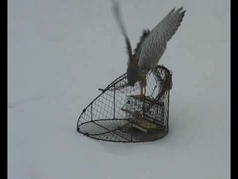 Common Kestrel trapping.avi
