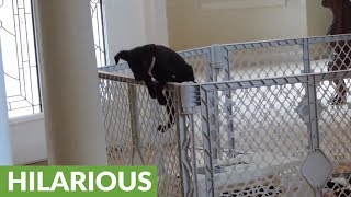 Puppy makes great escape to join doggy friends