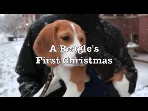 A merry beagle puppy rips open his Christmas presents