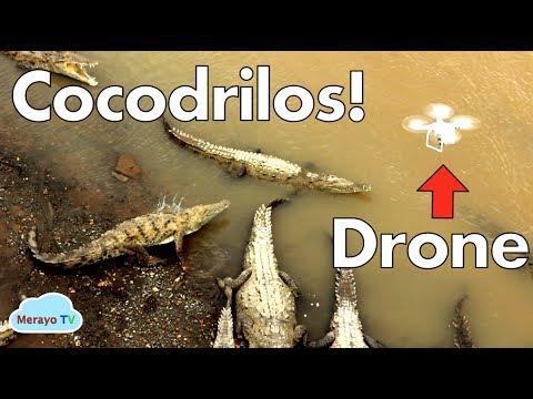 Cocodrilos Vs Drone - Rio Tarcoles Costa Rica