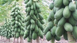 Proceso de Produccion en el Cultivo de Papaya - Parte 3 thumbnail
