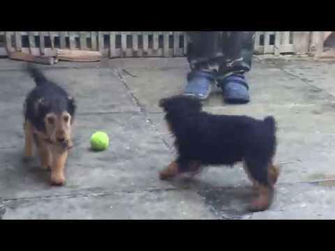 Welsh Terrier 2 male 1 female for sale Euro Puppy