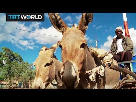 Donkey Business: Kenyan farmers cash in on donkey meat trade