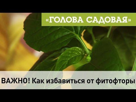 Вопрос: Помогает ли свекла от фитофтороза в теплице и почему?