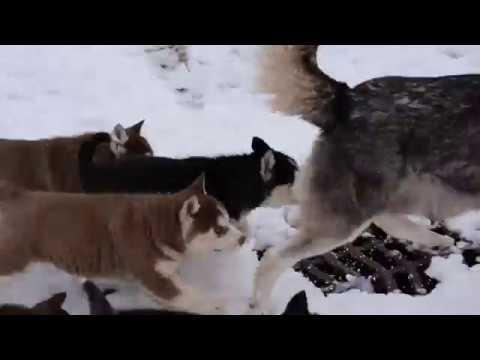 Akc Registered Siberian Husky Dundee Ohio