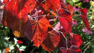 Cercis canadensis 'Forest Pansy' video
