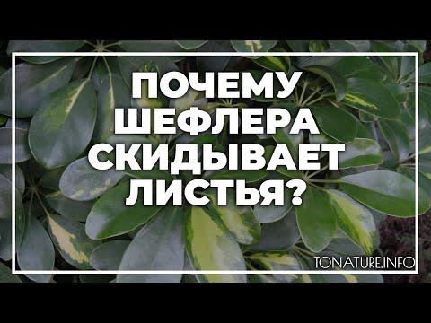 Почему шефлера скидывает листья? | toNature.Info