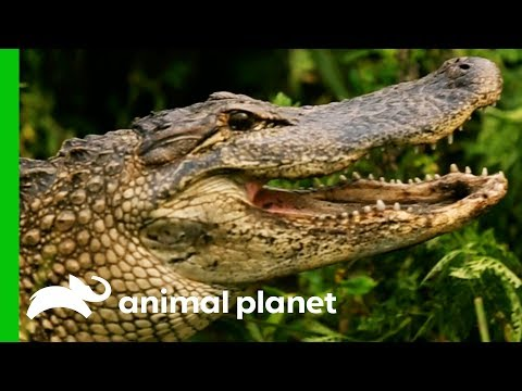 Huge 8ft Long Alligator Spotted On Woman's Plant Nursery | Gator Boys