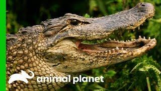 Huge 8ft Long Alligator Spotted On Woman's Plant Nursery | Gator Boys