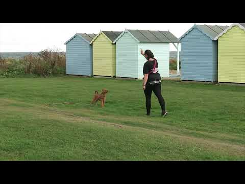 Dusty - Irish Terrier - 2 Weeks Residential Dog Training
