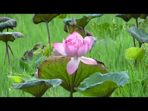 Nelumbo nucifera: Indian lotus, sacred lotus, bean of India, or simply lotus flower