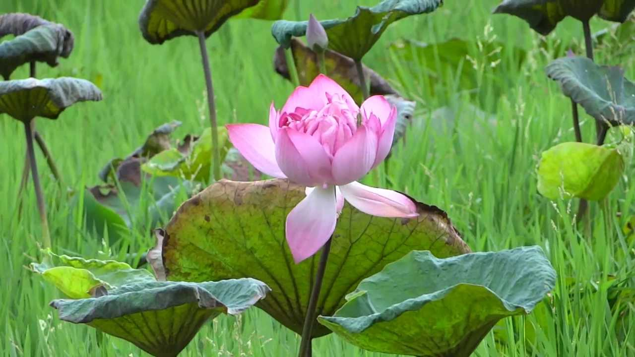 nelumbo nucifera indian lotus, sacred lotus, bean of india, or, Beautiful flower