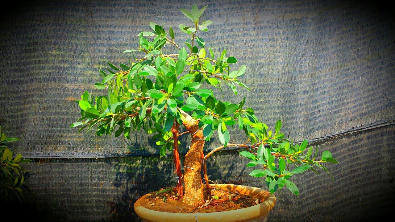 How To Make Ficus Tiger Bark Bonsai By Xia Mujahid Pakistan Bonsai Society Youtube