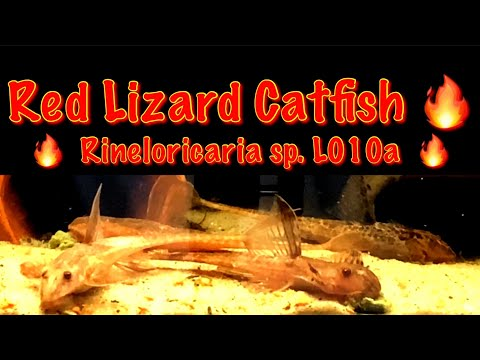 Red Lizard Catfish - Complete Care Guide! Rineloricaria Sp. L010a 🔥 Subscribe For More!