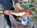 Firefish Goby- Ateş Balığı - Deniz Akvaryumu Balık Tanıtım (Tuzlu Su Akvaryumu Balıkları)