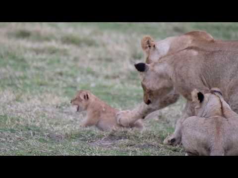 Lion cubs playing rough with a younger cub