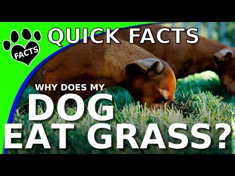 Why Does My DOG Eat GRASS To PUKE All Of A Sudden? - Animal Facts