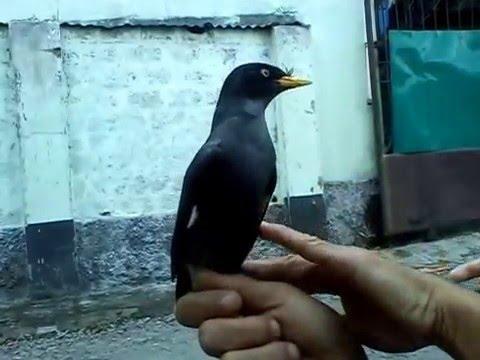 Burung Jalak kebo GACOR buat Masteran