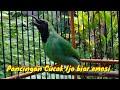 Pancingan Cucak Ijo Gacor Bongkar Isian Full  Mp3 - Mp4 Download
