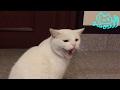 白猫「チロ」晩御飯後、外に出たいシャー!!…夜はダメです…