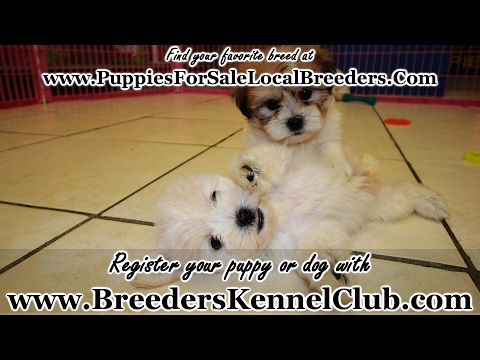 TEDDY BEAR PUPPIES FOR SALE GEORGIA LOCAL BREEDERS