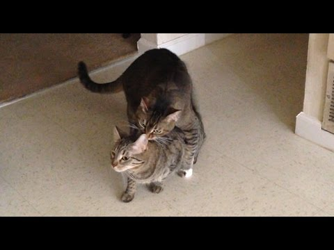 Very strange cat reactions to audio of other cats meowing