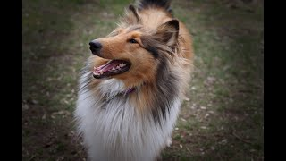 ROXY IS 1 YEAR OLD! Rough collie puppy from 1 month to 1 year/Marvelous Pets
