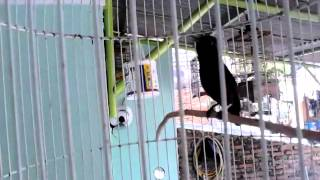 Kolibri ninja isian love bird