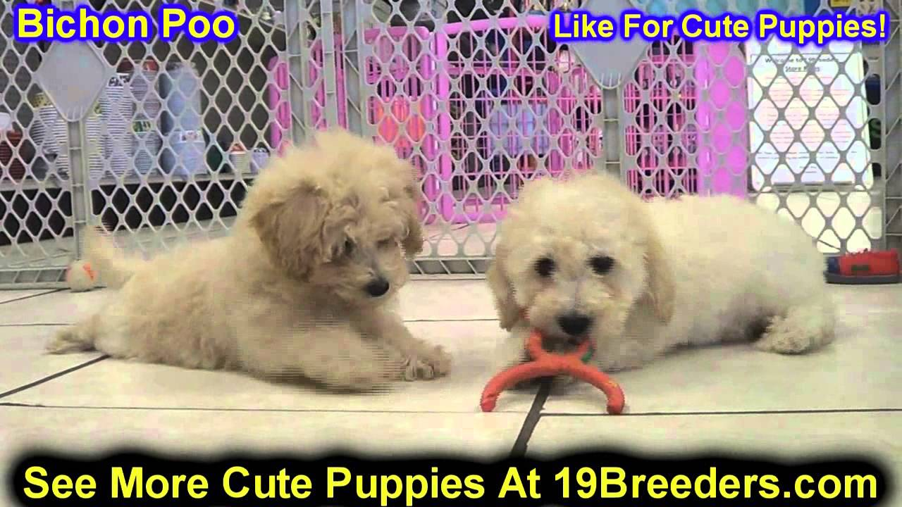 Bichon Poo, Puppies, Dogs, For Sale, In Chicago, Illinois ...