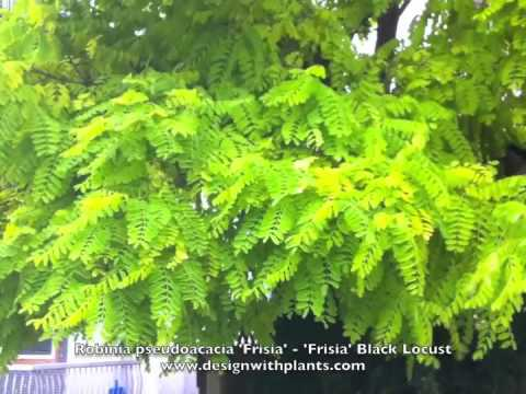 Robinia Pseudoacacia Frisia Black Locust