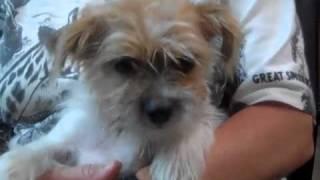 """""""lucy"""" Shihtzu-rat Terrier Hybrid"""