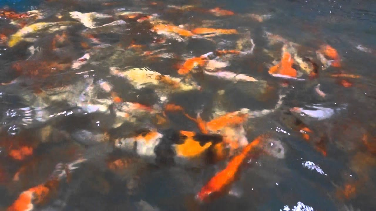 Doron 39 s koi carp khv free koi varieties and all type of for Koi 9 en israel