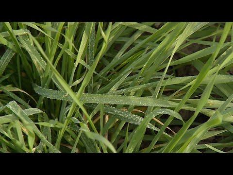 Winter Wheat Condition - Stephen Baenziger - November 25, 2016