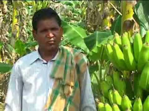 BANANA PLANTATION | SUCCESS STORY OF A FARMER | HORTICULTURE