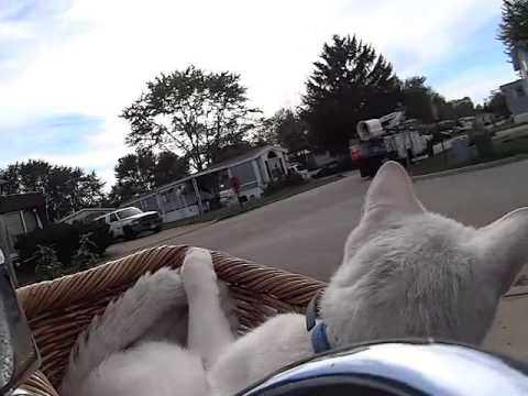 Cats like biking too!  Cat enjoys bicycle ride in basket!  GreenShoes