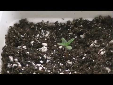 Medical Marijuana  grow day 4 week 1 (what grow420guide is about)