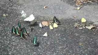 三峽大豹溪-清水橋-群聚蝴蝶