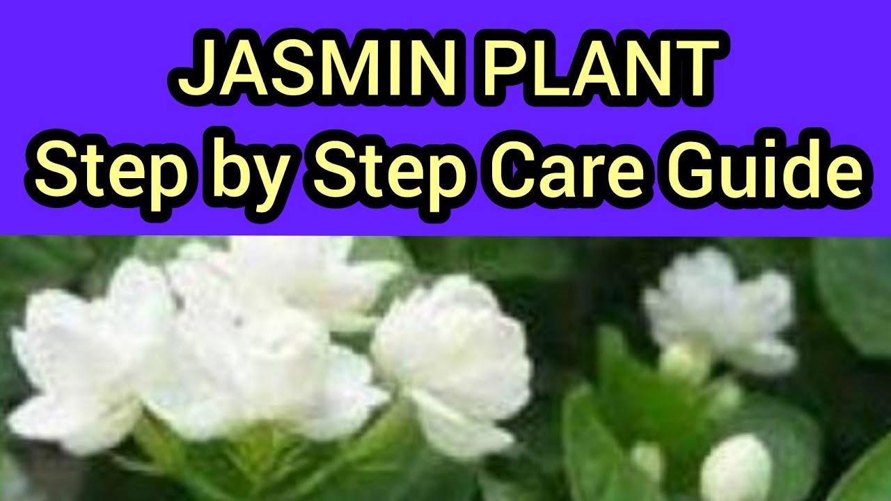 How to grow and trim mograjasmine beli in hindi urdu youtube how to grow and trim mograjasmine beli in hindi urdu izmirmasajfo