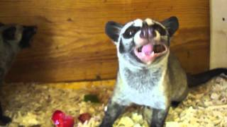 Feeding the Asian Palm Civets