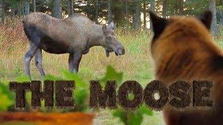 THE MOOSE - Foxpail Animal Spotlights